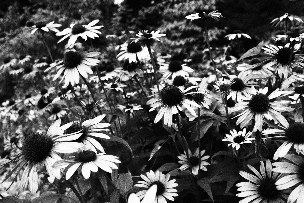 B and W echinacea