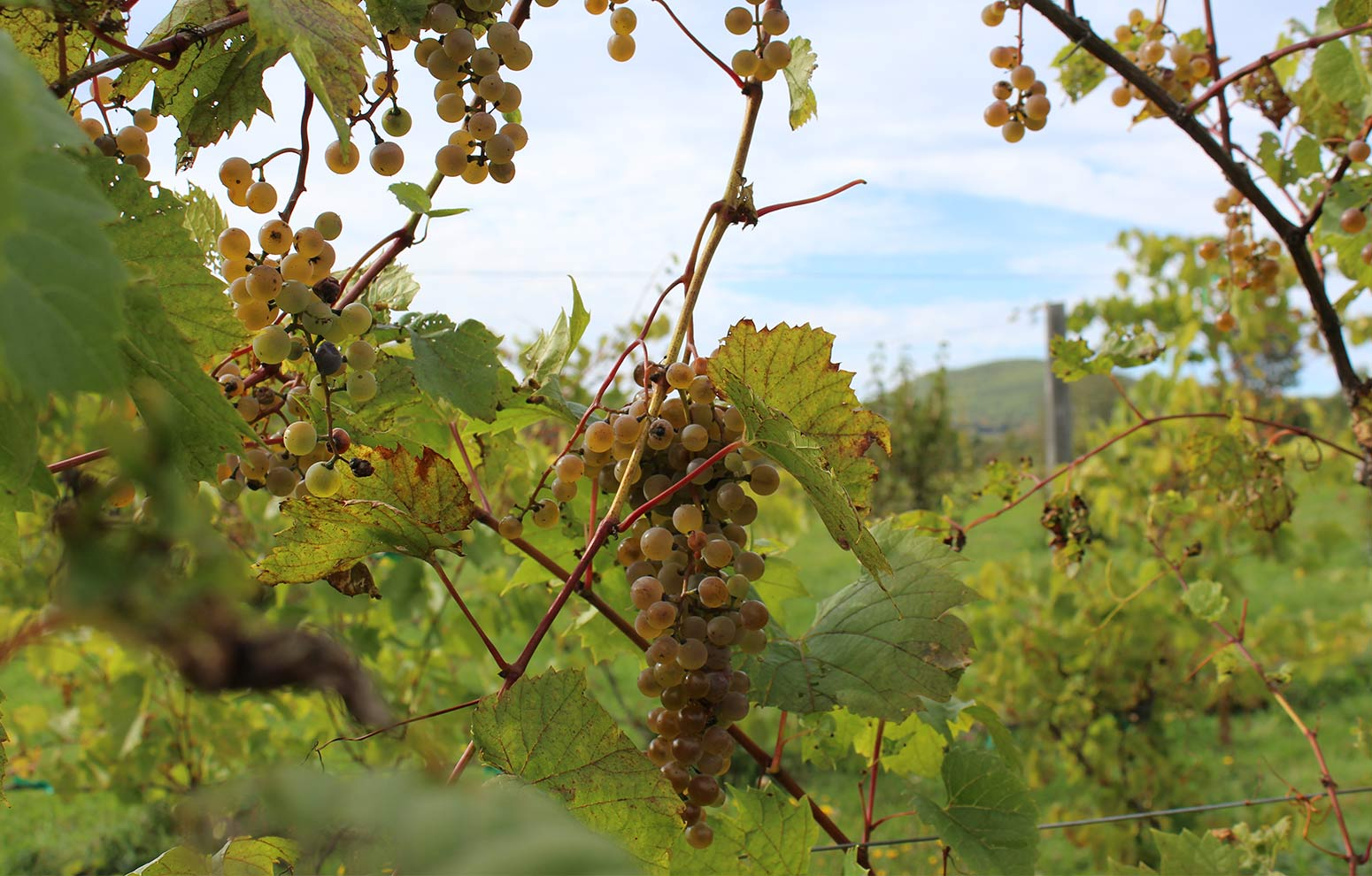 Cold hardy Frontenac Blanc grapes ready for harvest