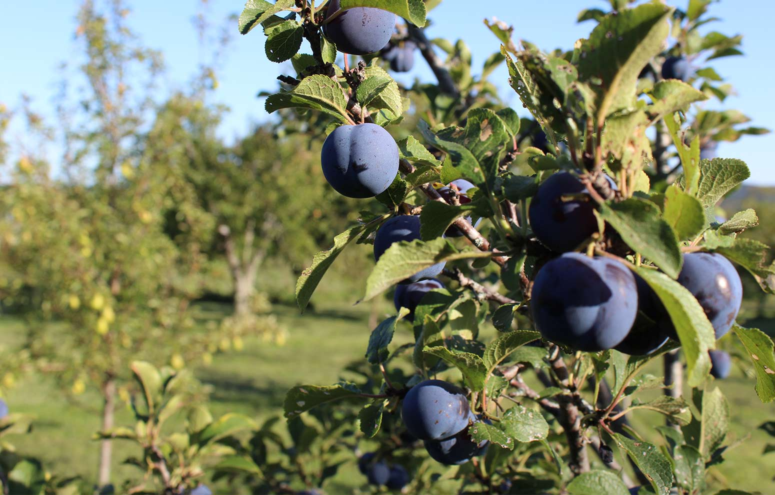 Blue Damson plums on the branch