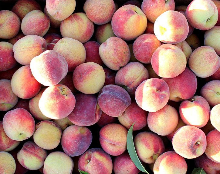 Harvest box of ripe summer Red Haven peaches