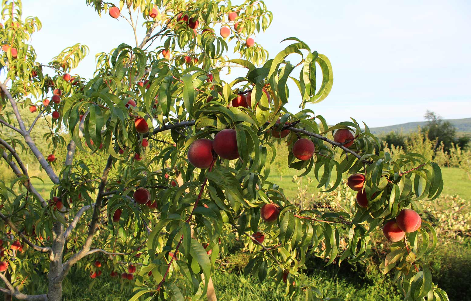 Northern Contender peach trees in the orchard