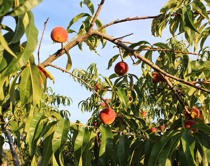 Reliance peach tree branches full of fruit