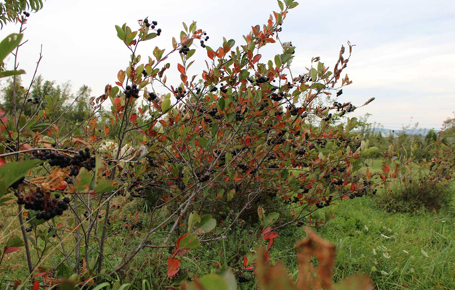 Orange and red fall foliage on aronia bushes in autumn