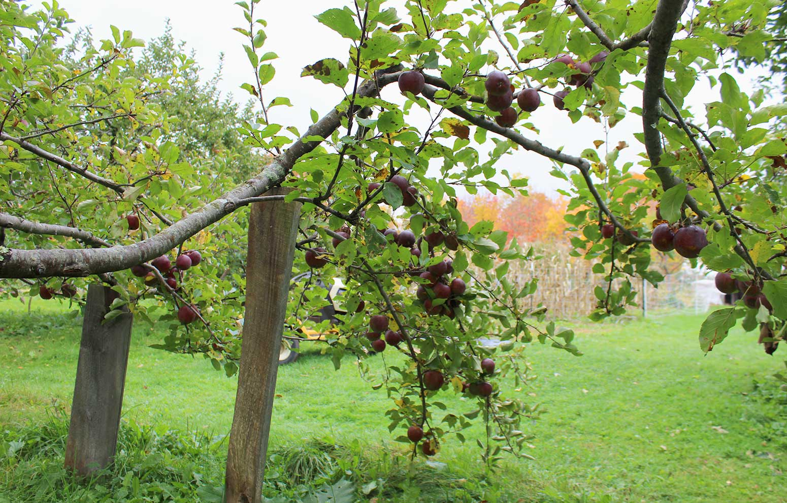 Apple trees with propped limbs heavy crop of Black Oxford apples