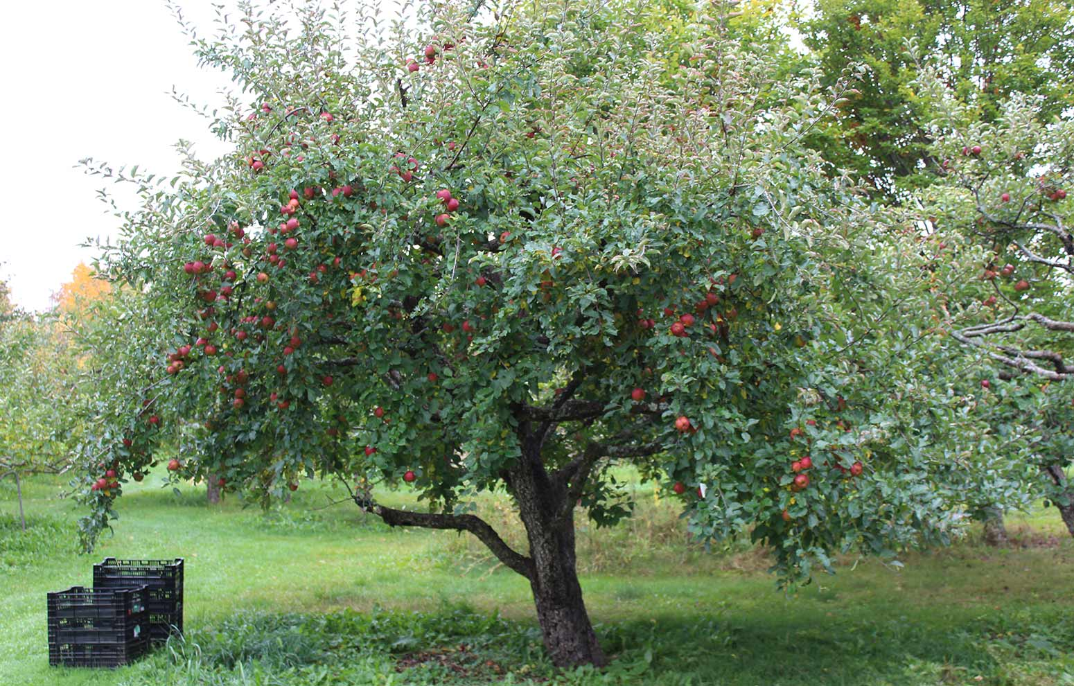 Baldwin apple tree full of ripe apples ready for harvest in Maine