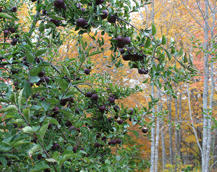 Black Oxford apples fall foliage trees in Maine autumn