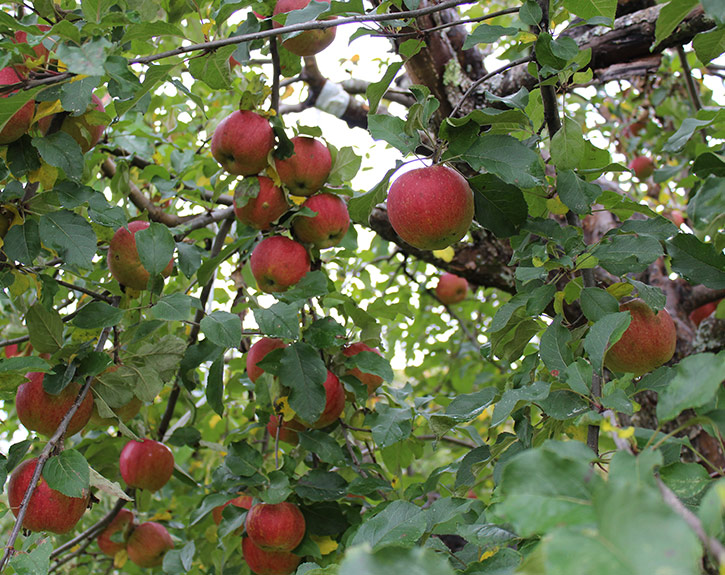 Ripe red Baldwin apples abundance on branches