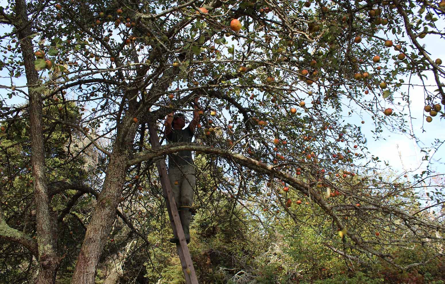 Wooden apple ladder in old apple tree during harvest of wild apples