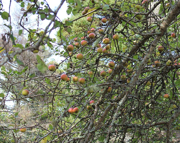 Wild apples in the woods