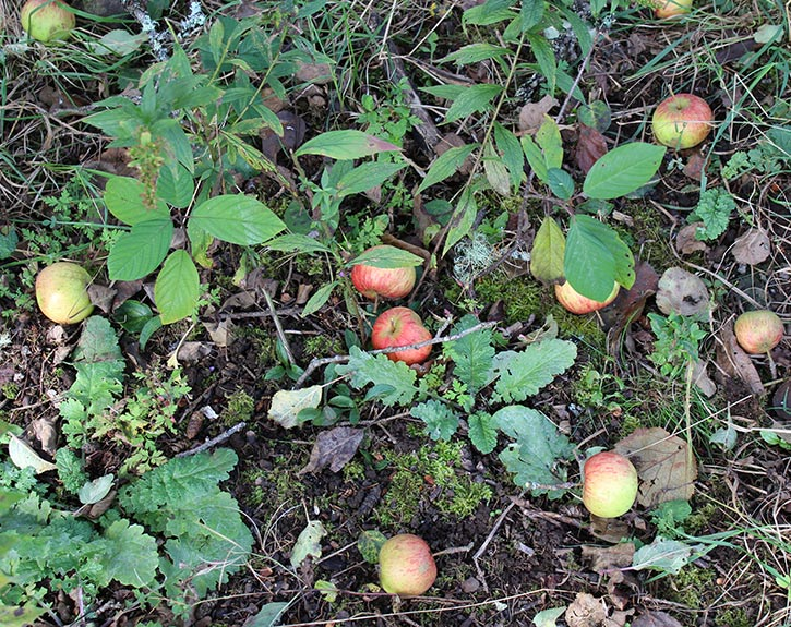 Feral apples in the wild forest