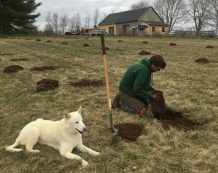 Hand digging holes for apple tree planting in spring with shovel soil knife and Jindo dog