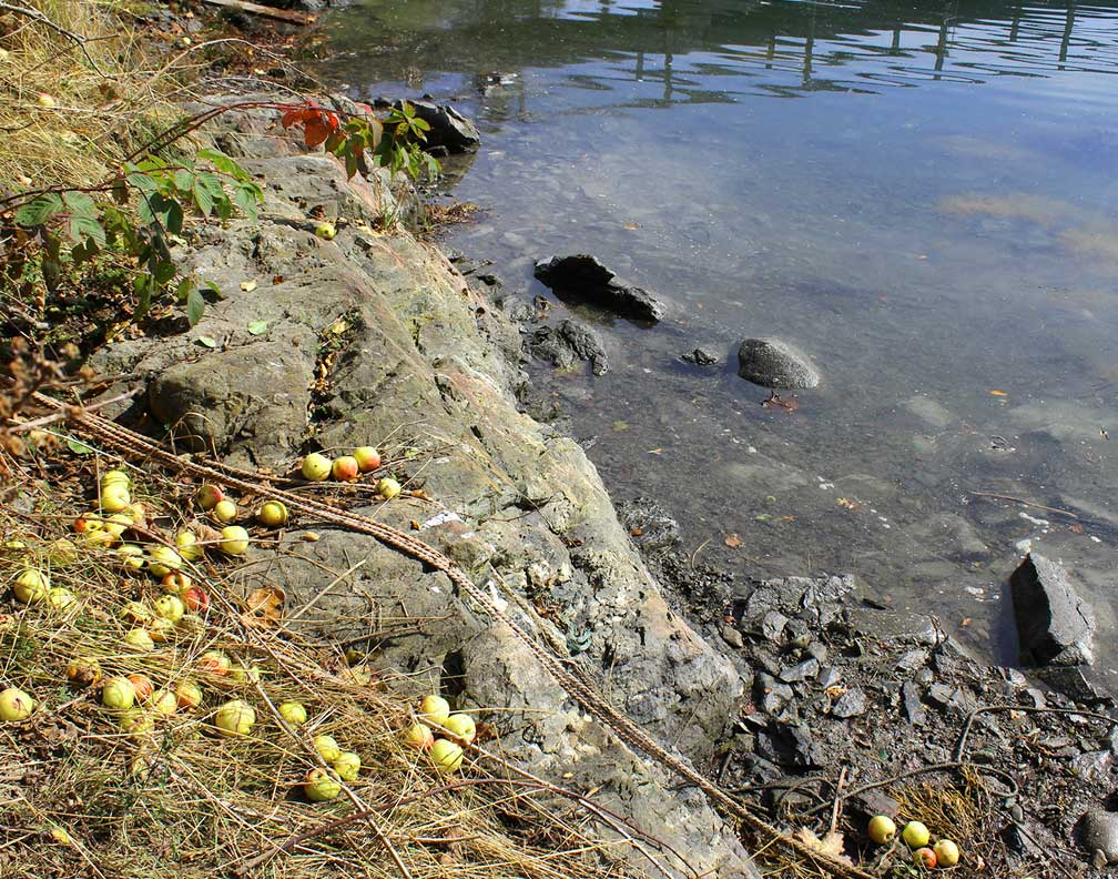 Wild apples on the coast of Maine