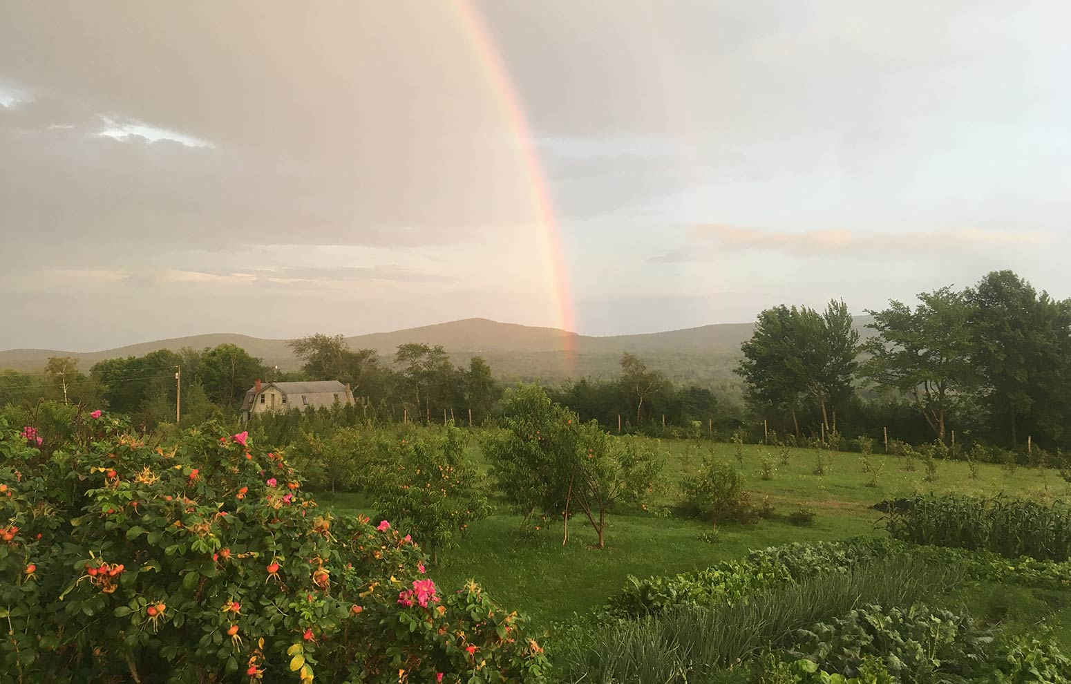 Passing summer thunderstorm rainbow in the garden with pink rosa rugosa rose hips