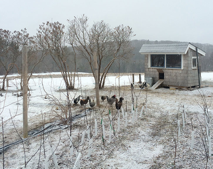 Organic free range layer hens and chicken coop in winter snow