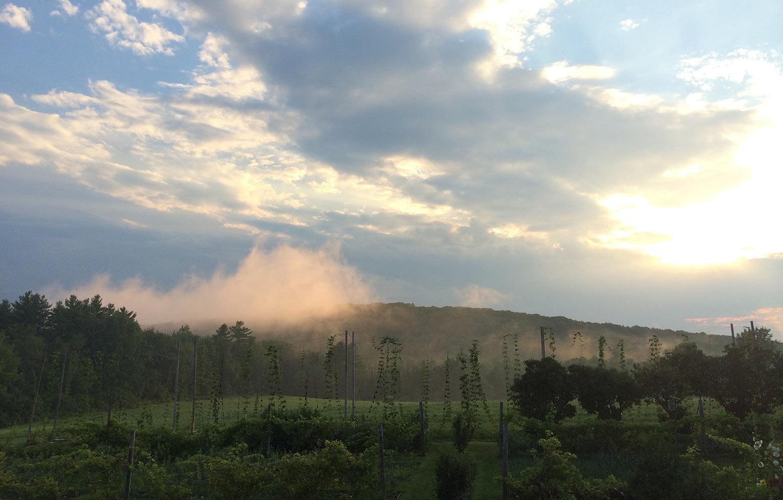 Hops on trellis in evening sunset mist
