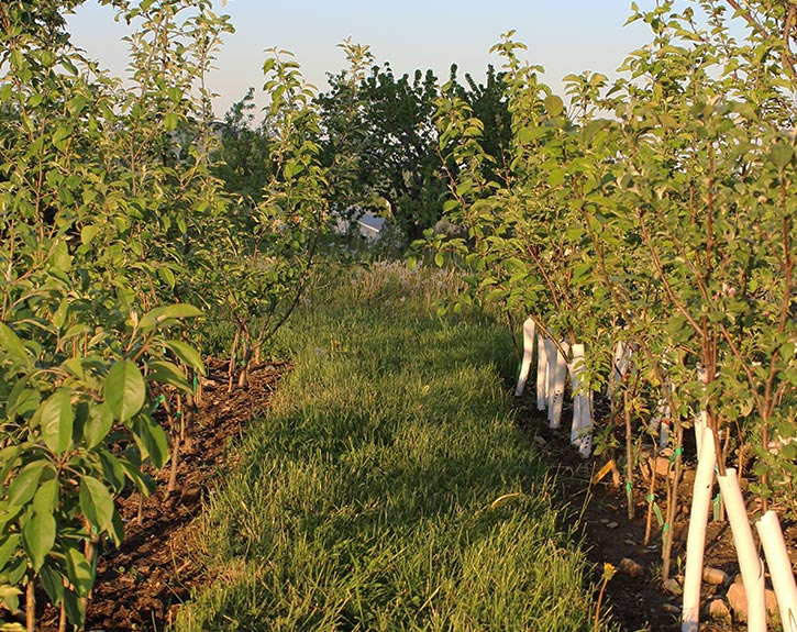 Nursery rows of young grafted apple trees with tree guards