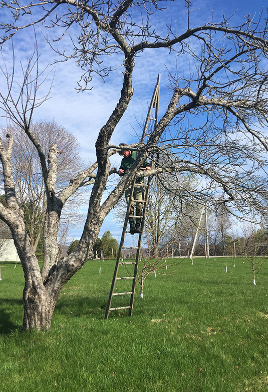Top working neglected apple tree during spring grafting on wooden Baldwin apple ladder