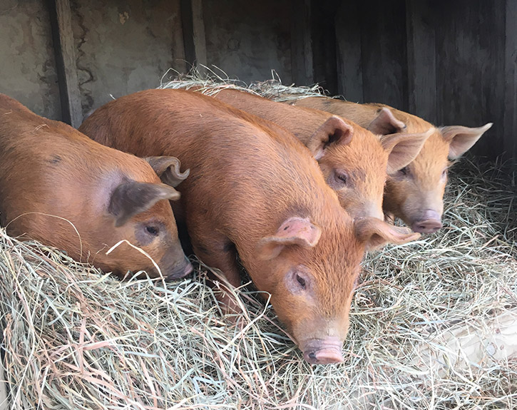 Litter of Tamworth and Old Spot cross spring piglets in hay