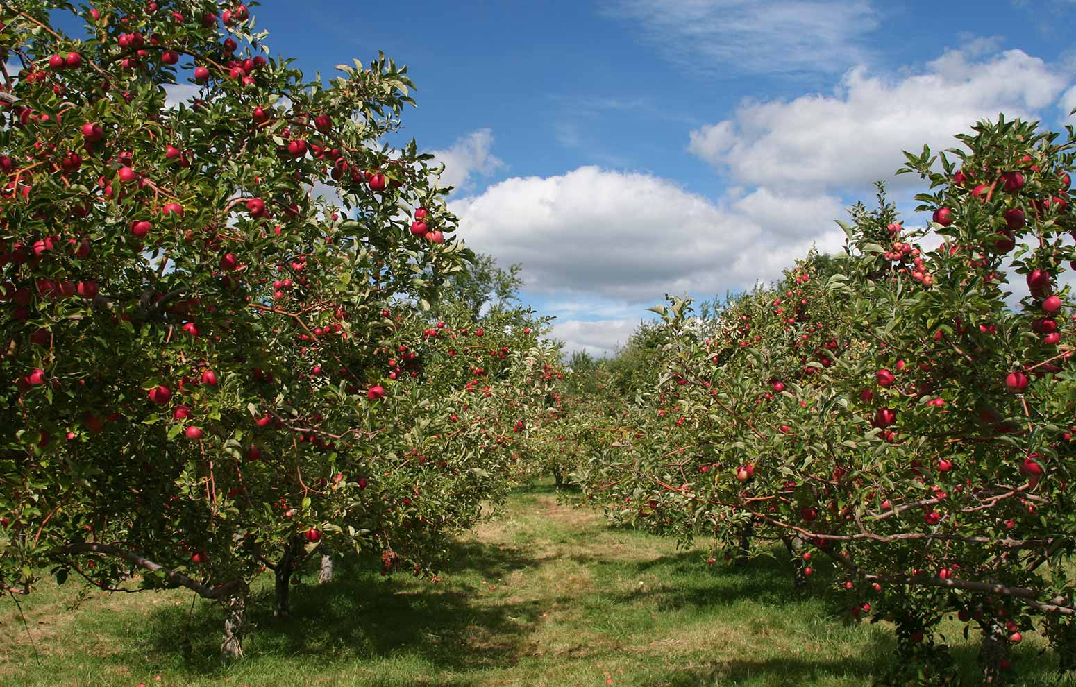 Apple orchard rows of trees full of ripe fruit