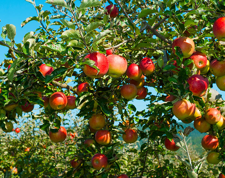 Branches on boughs heavy with ripe red apples