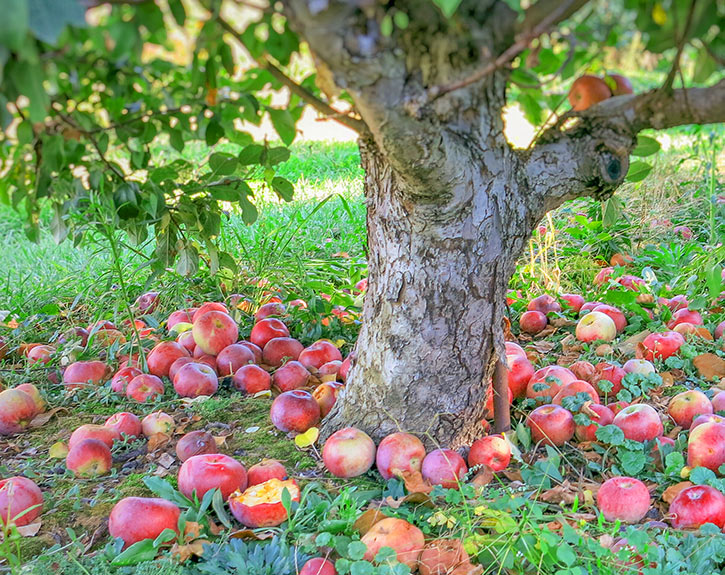 Abundant harvest of apples on the ground in the orchard