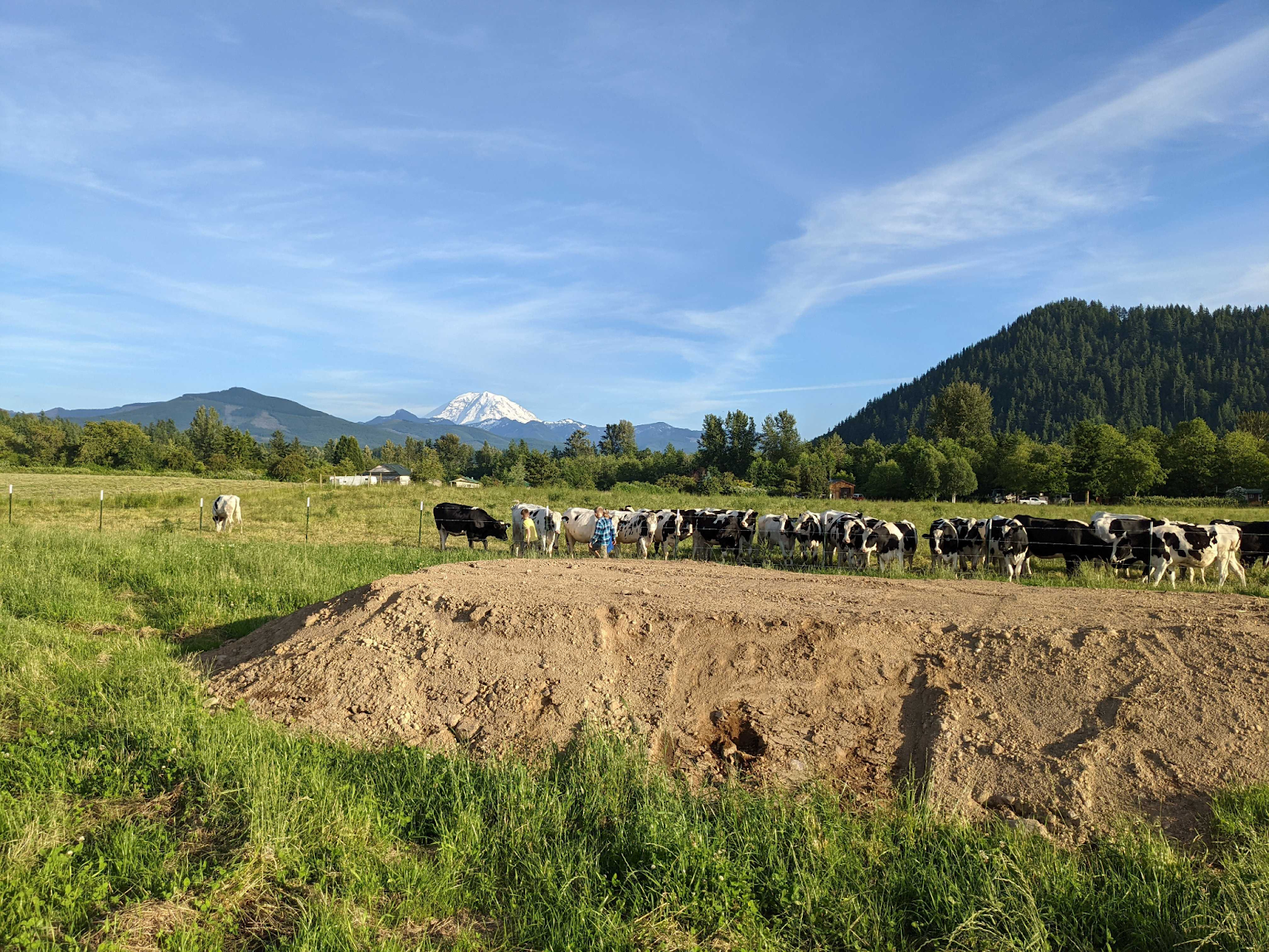 Boys in a field playing in a mound of dirt near cows.