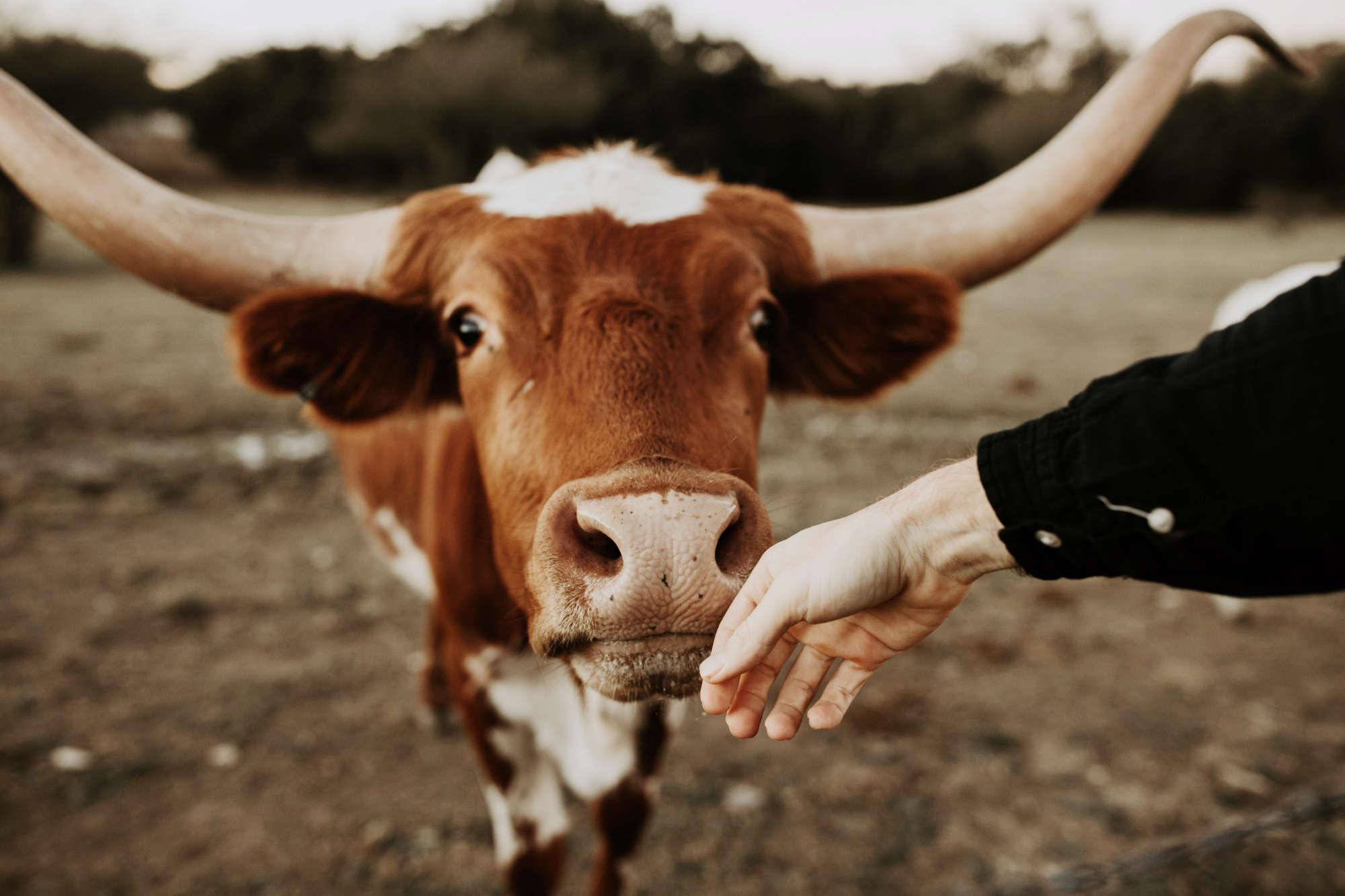 Picture of a friendly cow