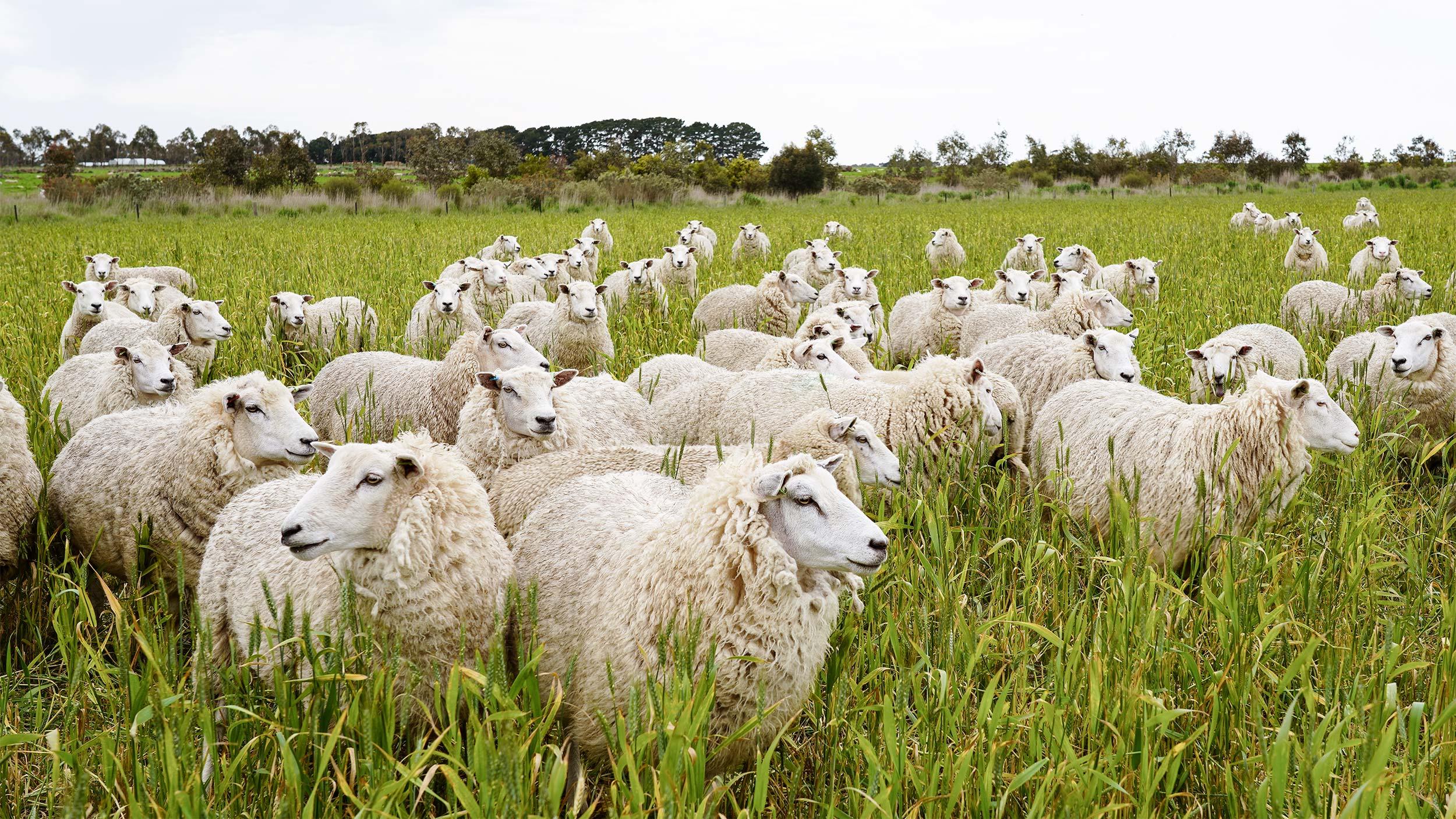 Flock of sheep grazing in a green field