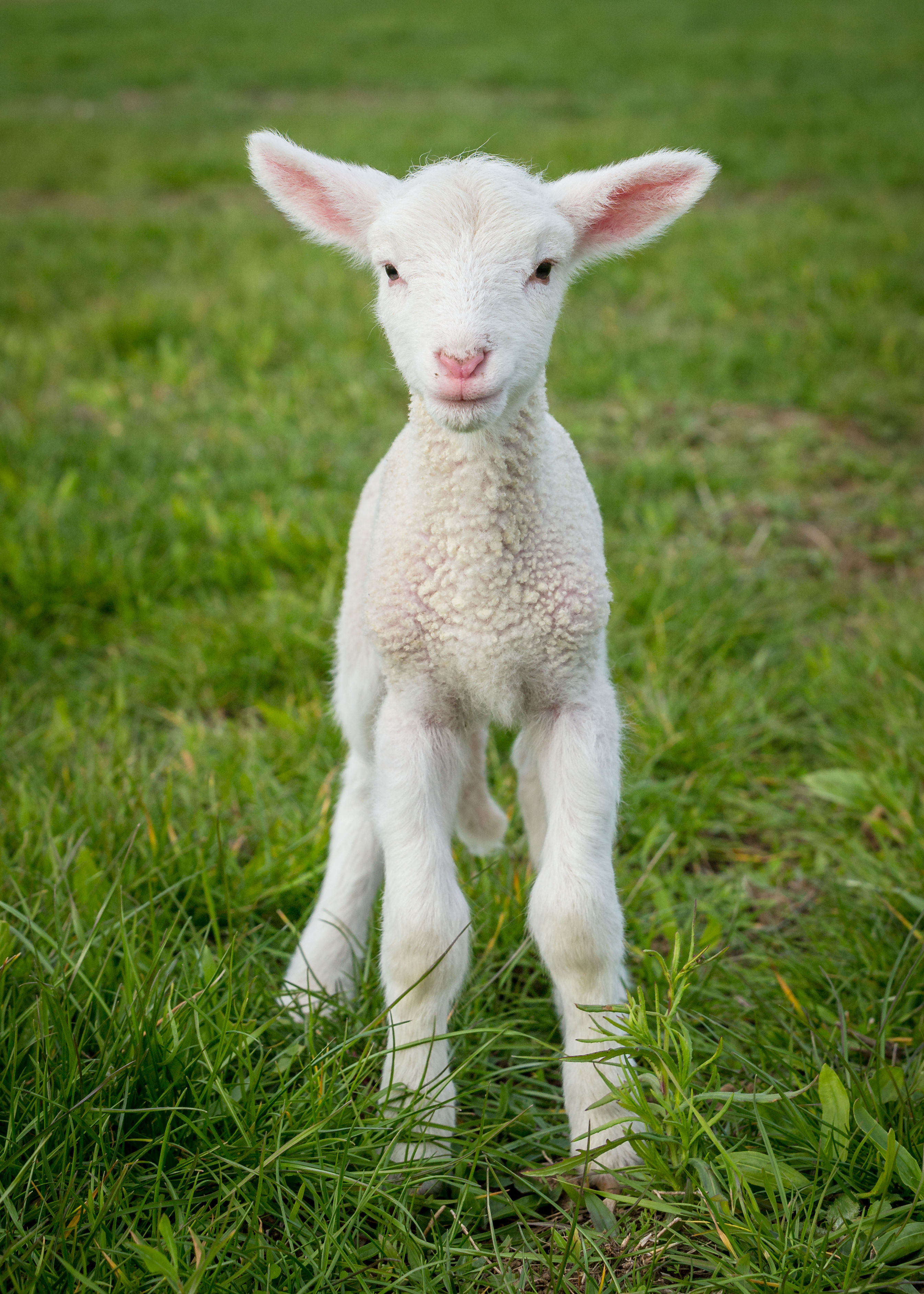 neXtgen Agri and MLA are providing research on reproduction and lamb survival.