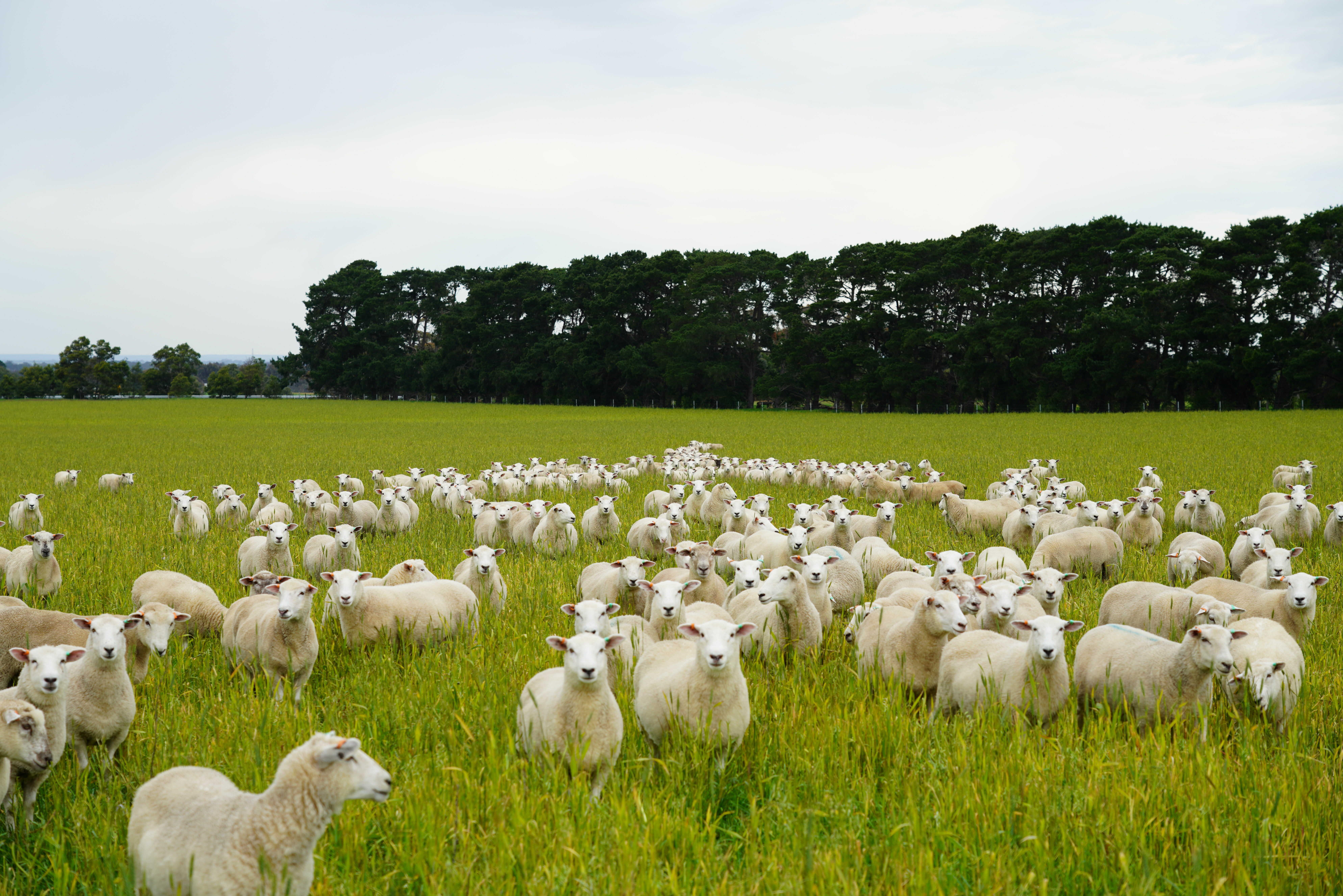 Flock of footrot free fine-wool sheep in a green field
