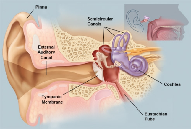A detailed diagram of the ear.