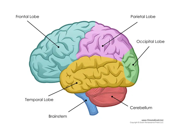 A simple diagram of the exterior of the brain.