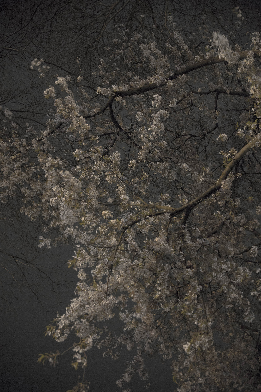 © Annette Wijdeveld (Hattem, The Netherlands) | Sakura, Dialogue with Silence