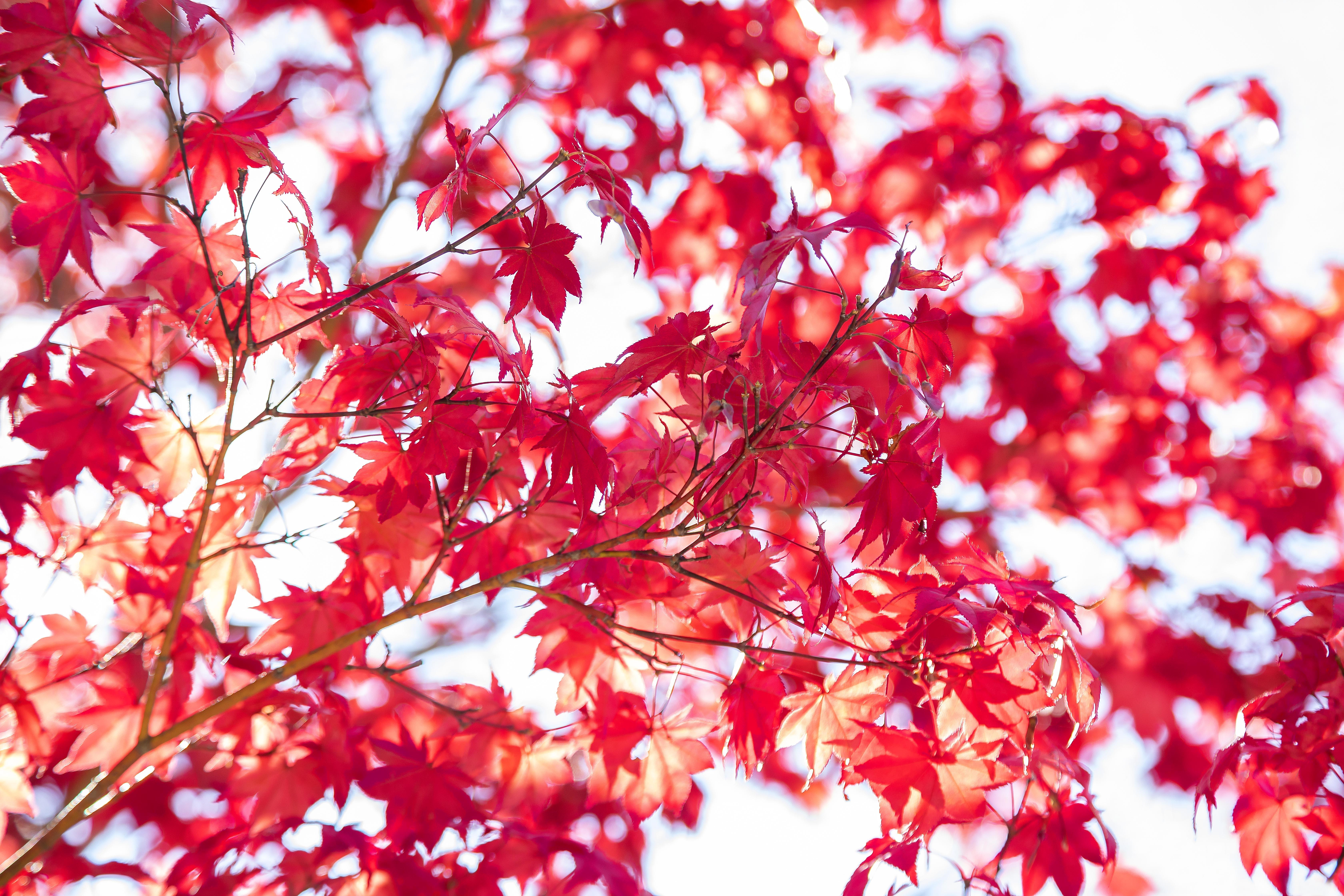 © Julia Hiebaum (La Jolla, California) | Japanese maple tree leaves