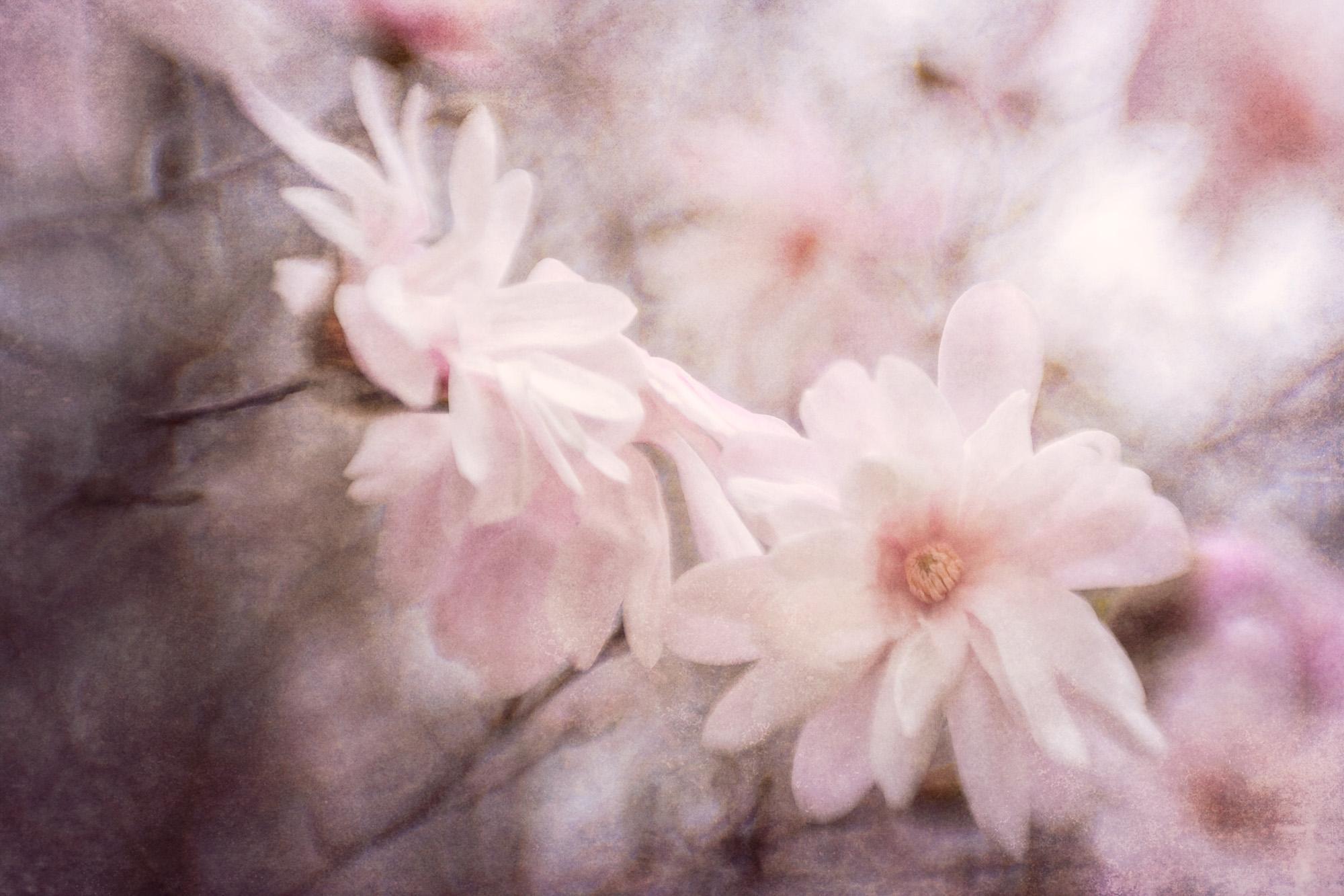 © Jo Fields | Magnificent Magnolias