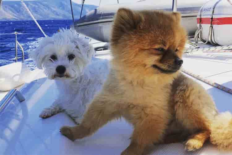 sailing with dogs and puppies
