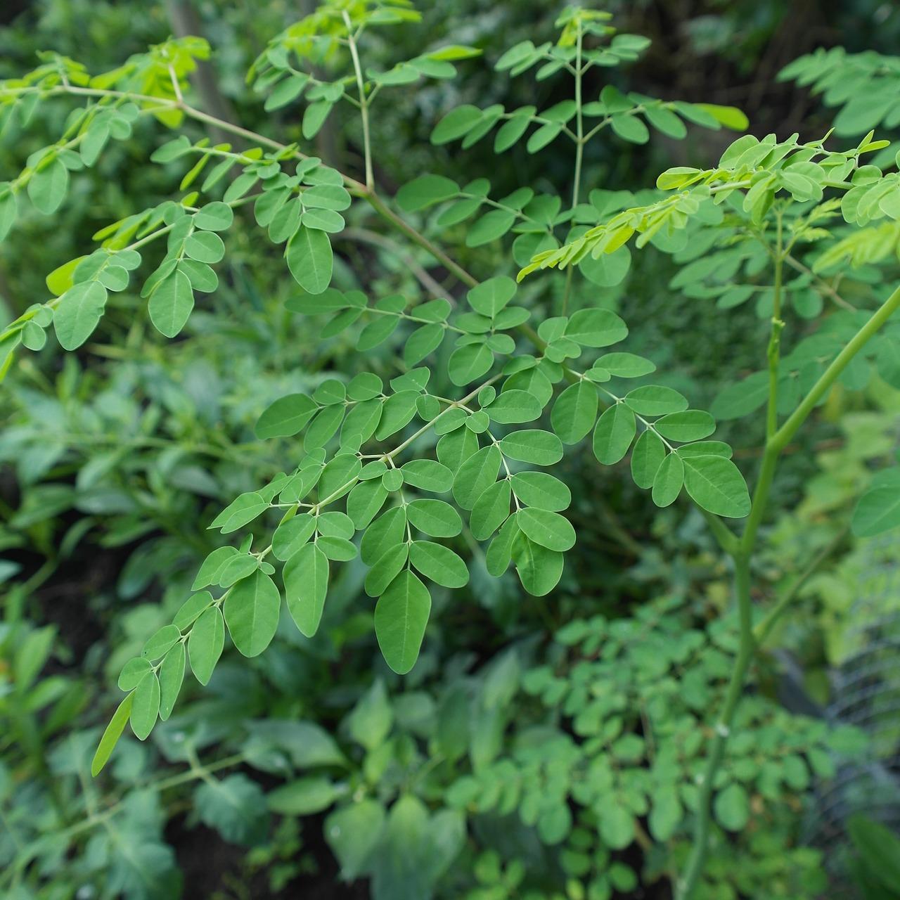 wat is moringa