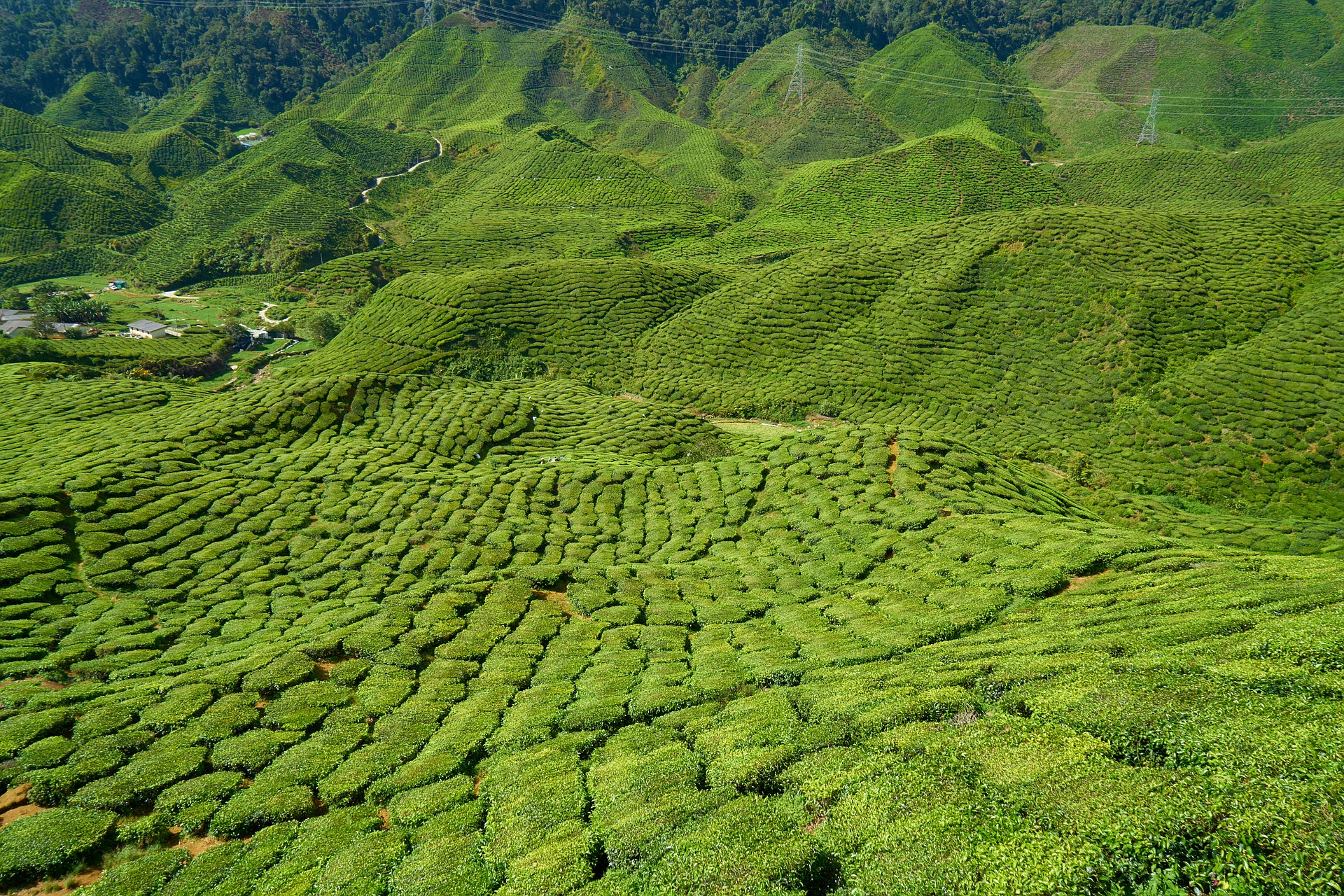 Vista of tea plantation