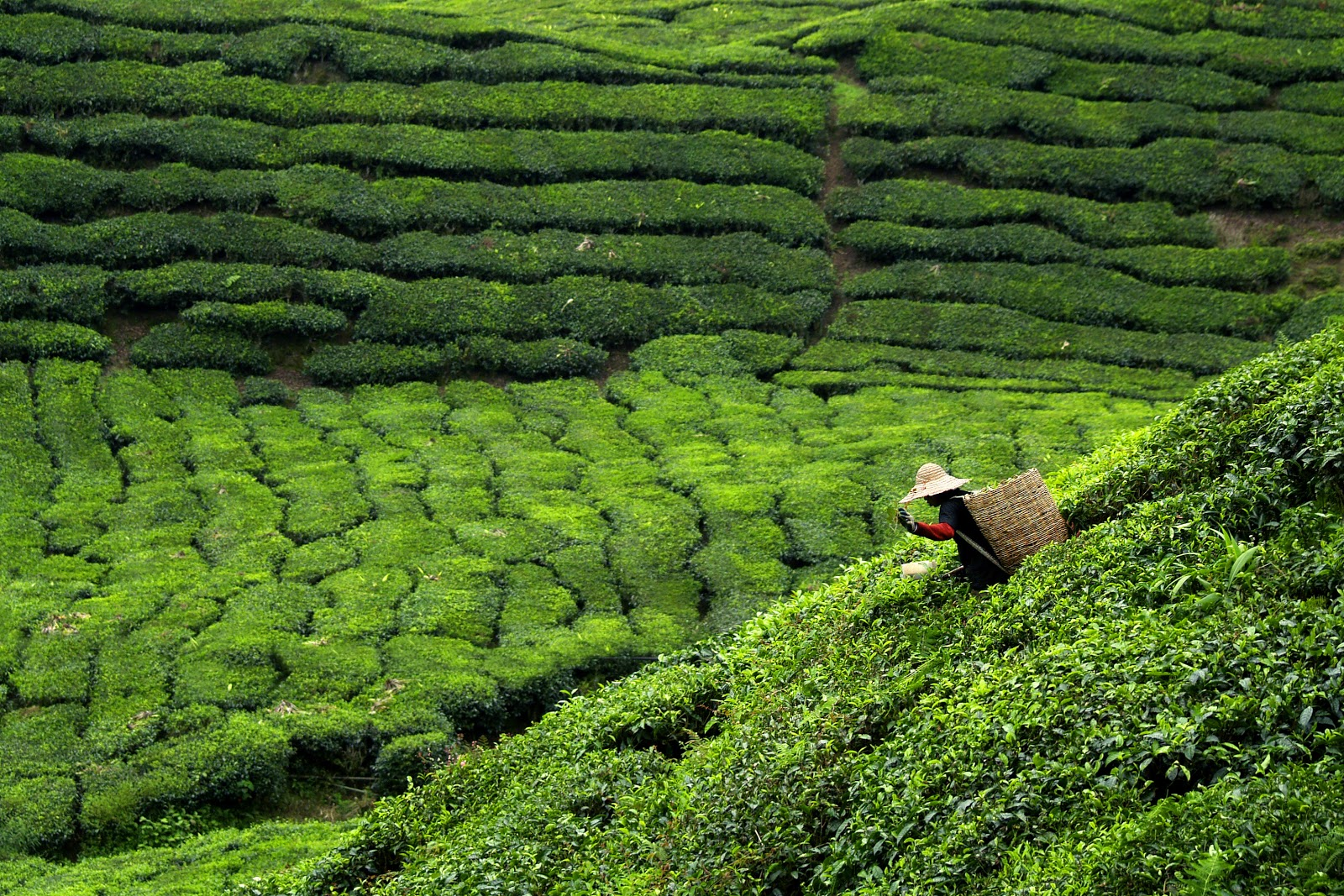 Shincha tea field