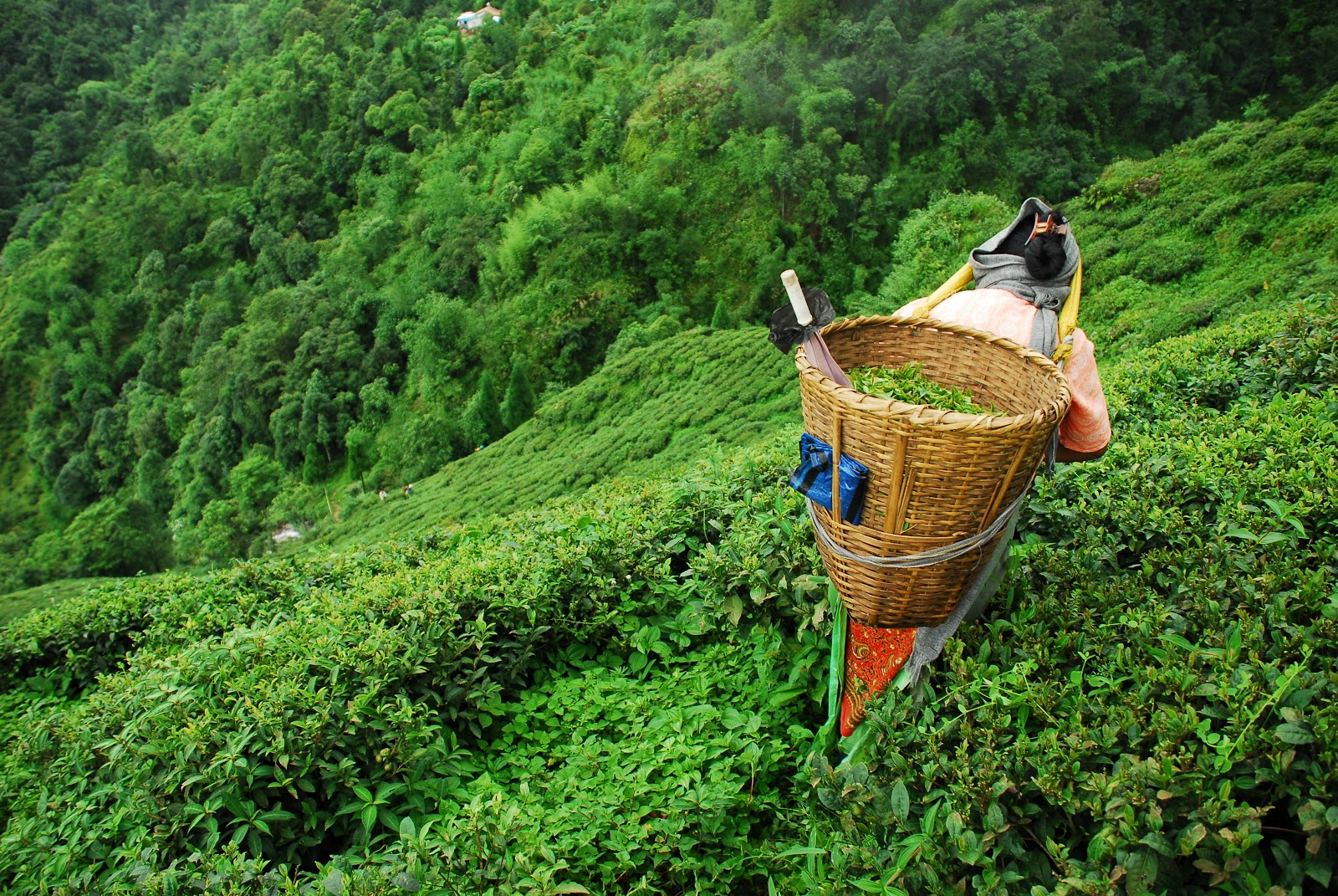 Darjeeling tea: tea cultivation