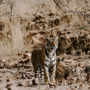 Tiger, Ranthanborne National Park in India
