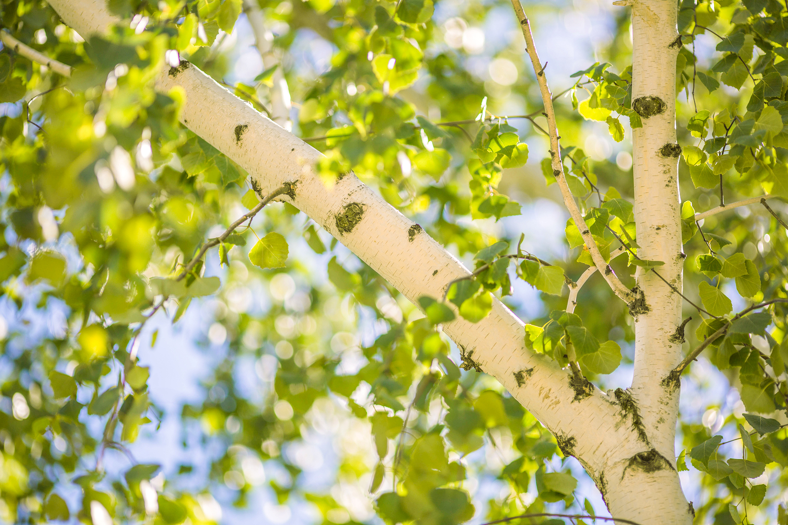 Seek refuge from congestion due to birch trees this spring!