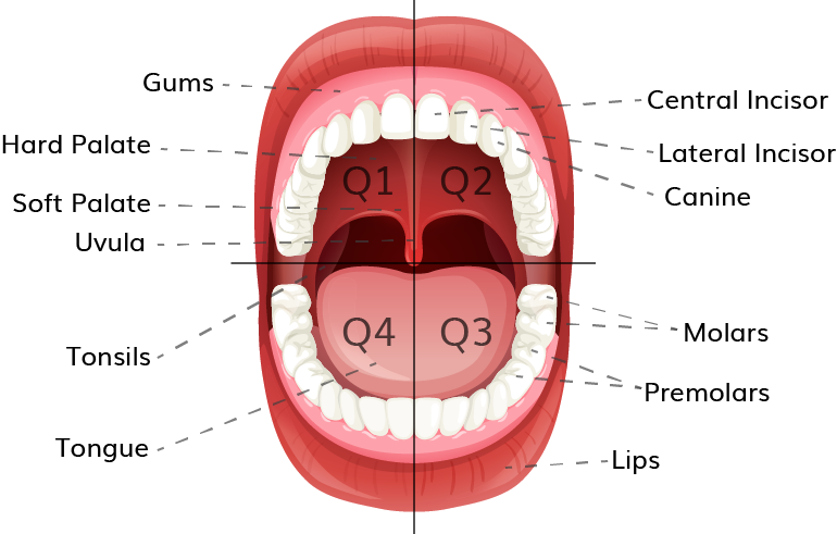 Image of open mouth with parts labelled