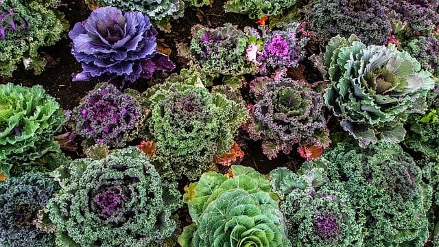Kale & Cabbage