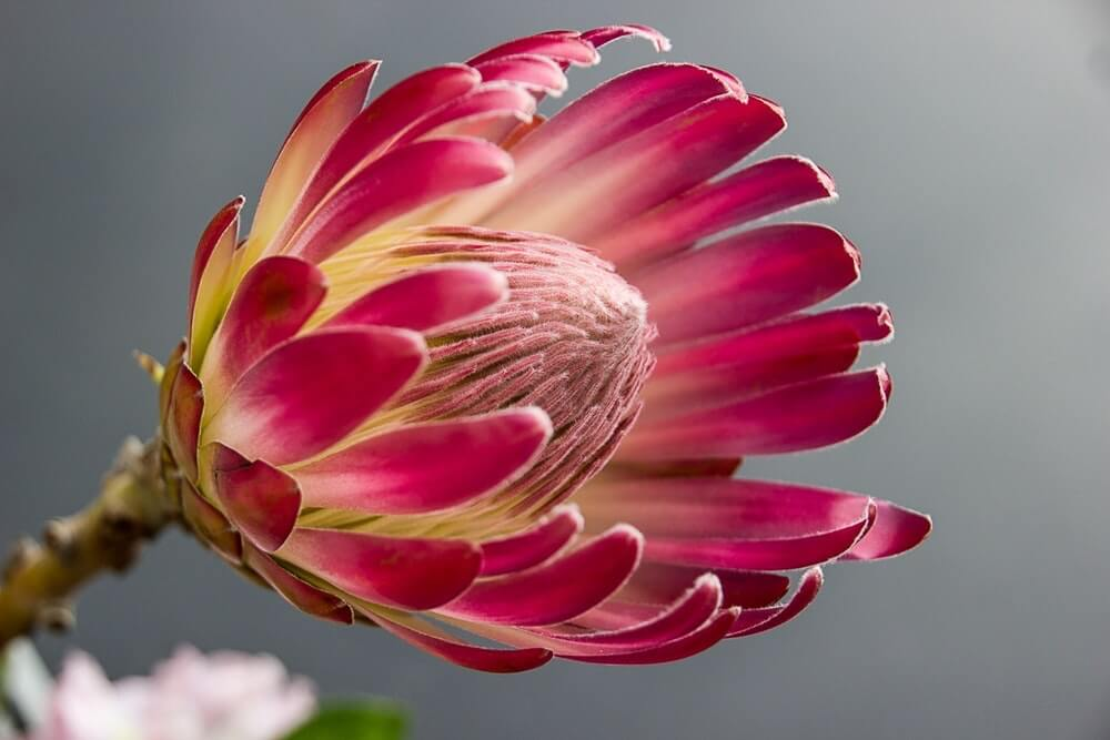 Bright pink single stem flower