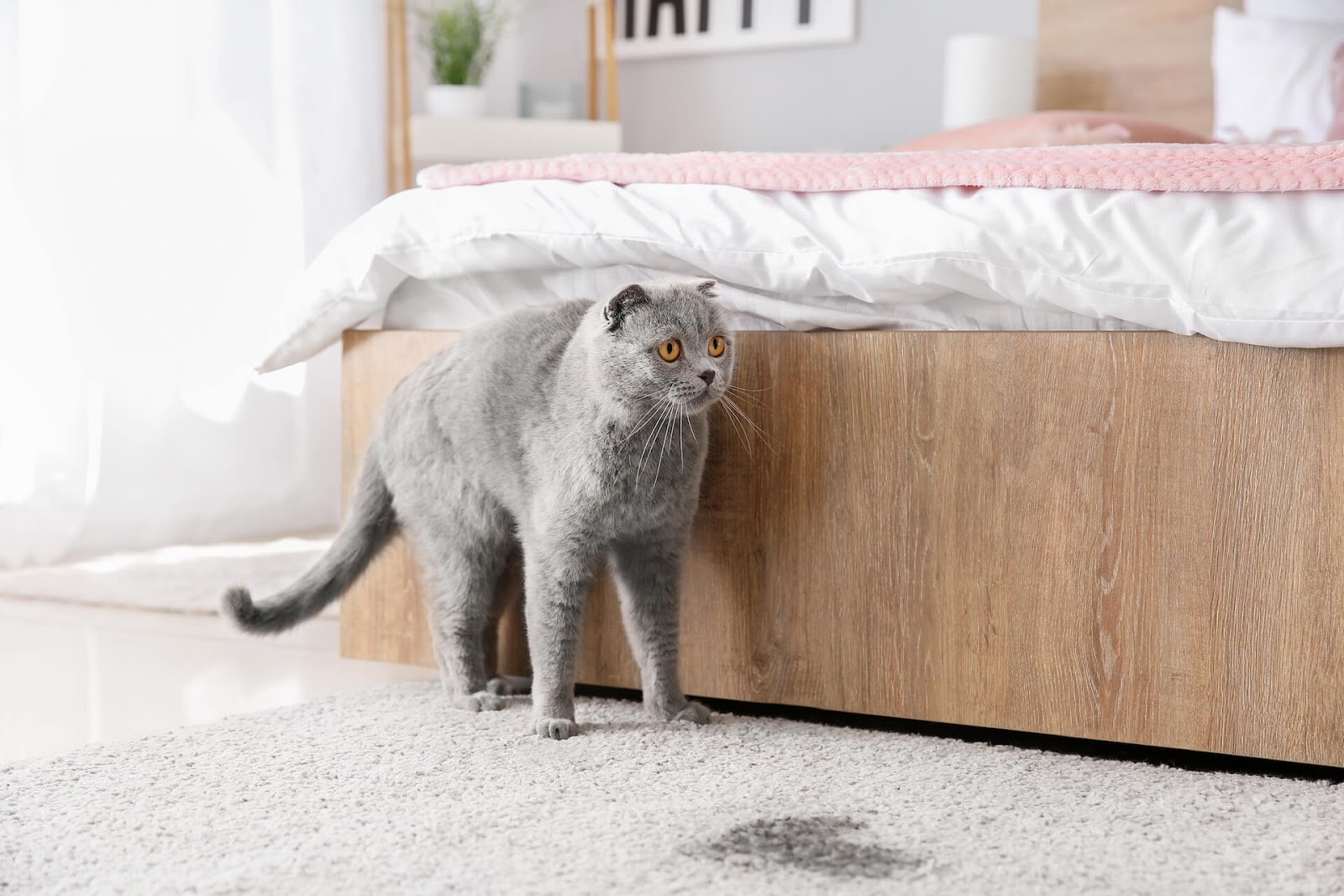 Stressed out cat next to a puddle of pee on the carpet