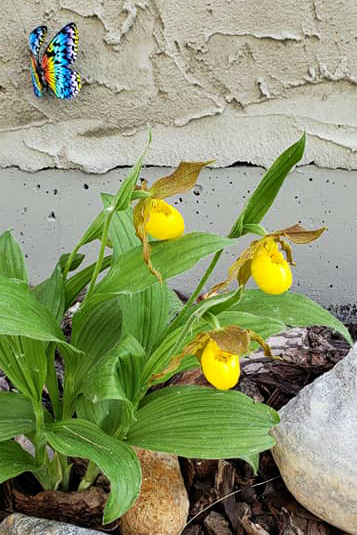 Mom's Lady Slipper Orchid