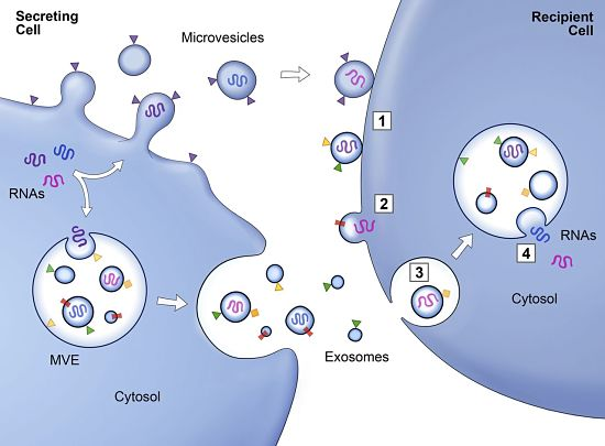 Exosome cell communication diagram