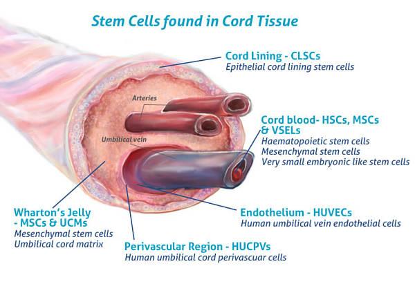 Umbilical cord tissue diagram showing where stem cells originate