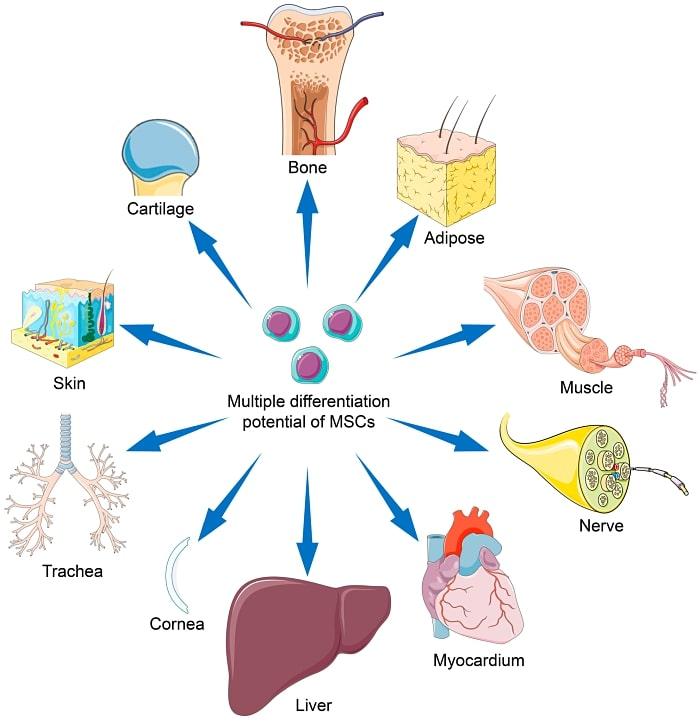 Mesenchymal stem cells differentiation